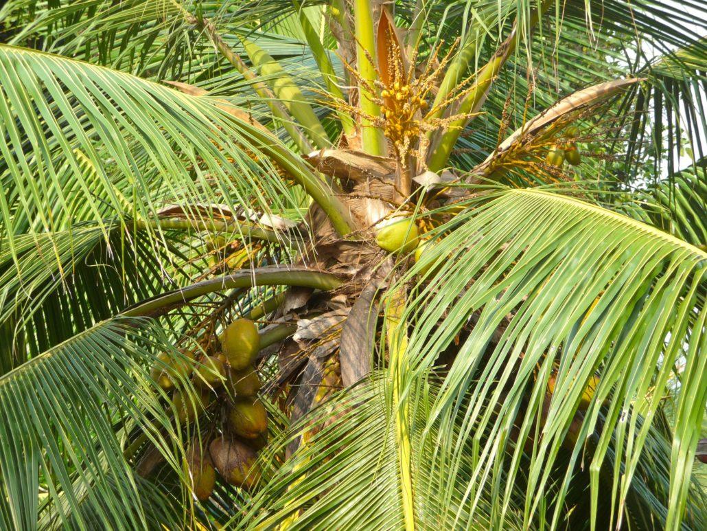 Kokosnuss an Palme bei Sonnenschein