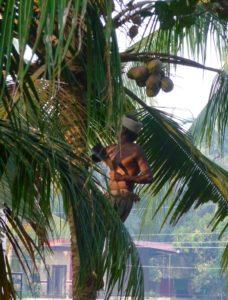 Indischer Mann auf Kokospalme und erntet Kokosnuss