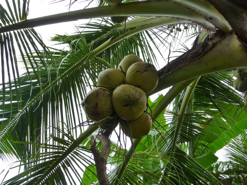 Kokosnüsse an der Palme